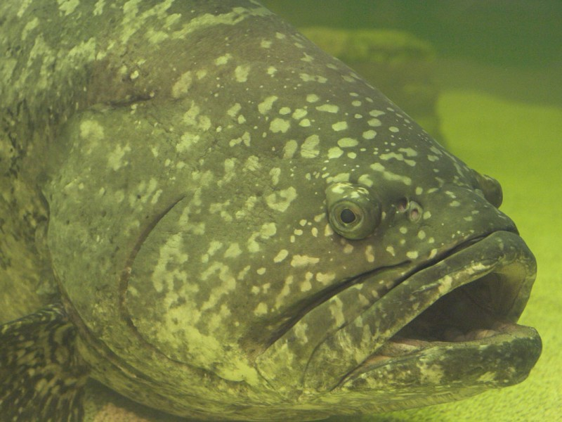 https://commons.wikimedia.org/wiki/File:Gordon_-_Goliath_grouper.jpg
