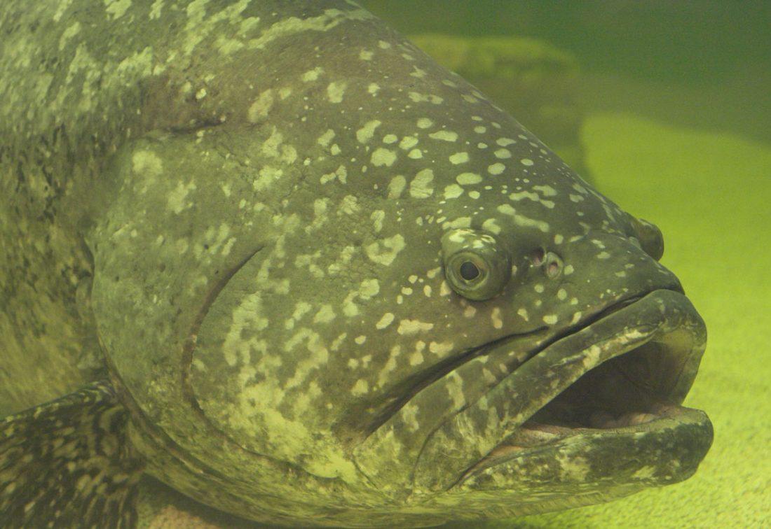 https://commons.wikimedia.org/wiki/File:Gordon_-_Goliath_grouper.jpg